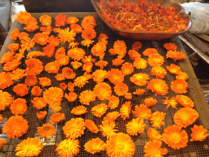 Calendula grows like a ... weed, and it smells divine to us and horrible to mosquitoes. At the satellite 'hoodsteading garden, calendula completely overran an entire bed. Pop off the heads once a week and more flowers come in. All these are now dried and curing in a Mason jar, waiting for me to decide whether to infuse 'em in oil or have friends make a hydrosol flower-essence in their still.